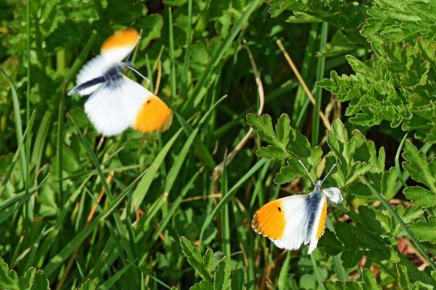Orange-Tip males. Photo: Mark Pike