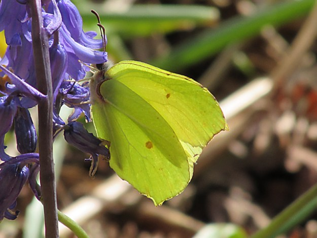 Two photos of Brimstones hanging off a bluebell flower