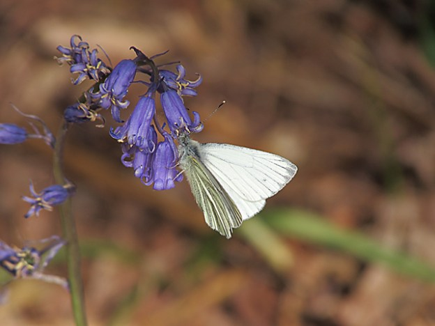 Green-veined White hanging from a bluebell flower.