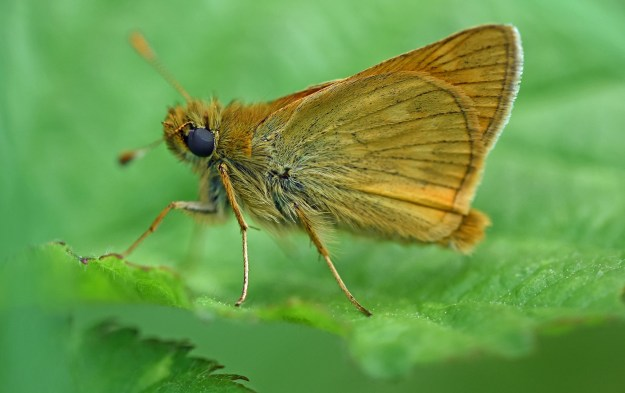 Sideways shot of a Large Skipper on a leaf