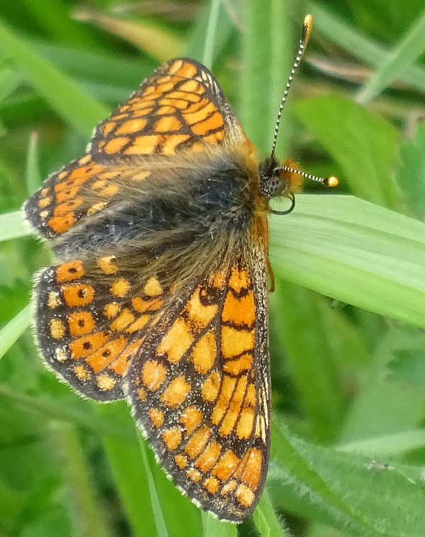 Marsh Fritillary butterfly with open wings