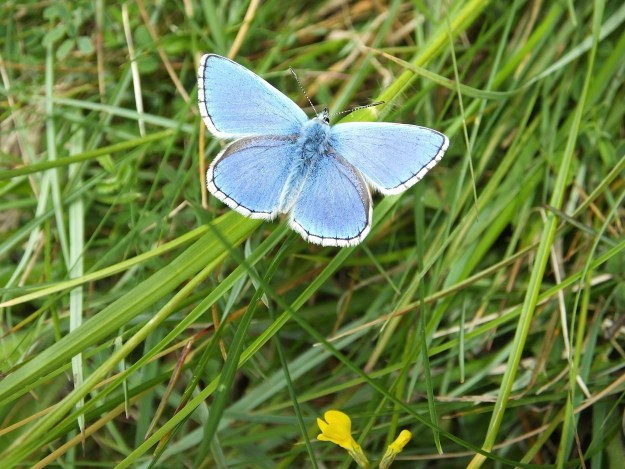 Adonis Blue with open wings.