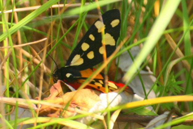 Colourful moth hiding in the grass