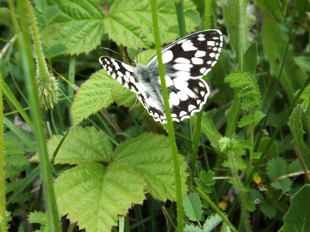 Black and white butterfly on a bramble leaf.