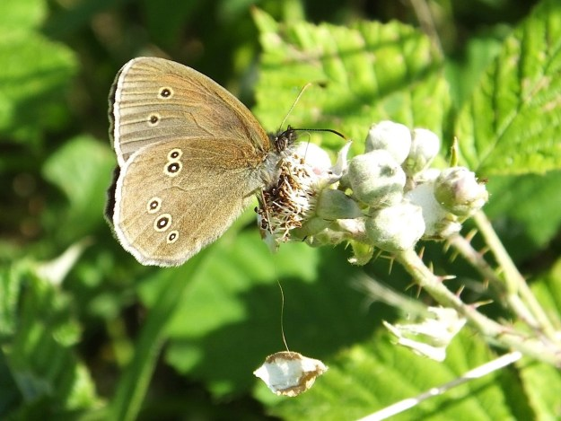 Ringlet butterfly on a bramble bud