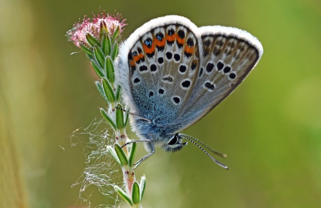 Side view of a Silver-studded Blue on a flower stem