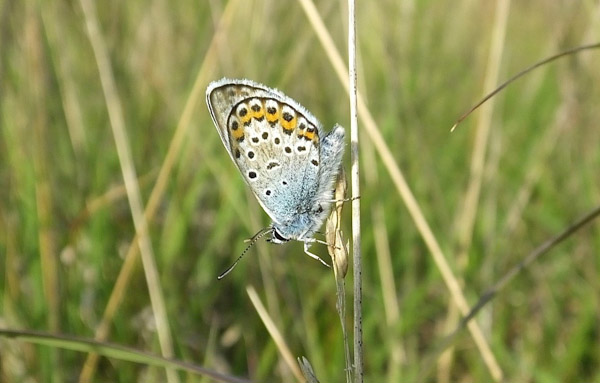 Side view of a male Silver-studded Blue on a grass stalk