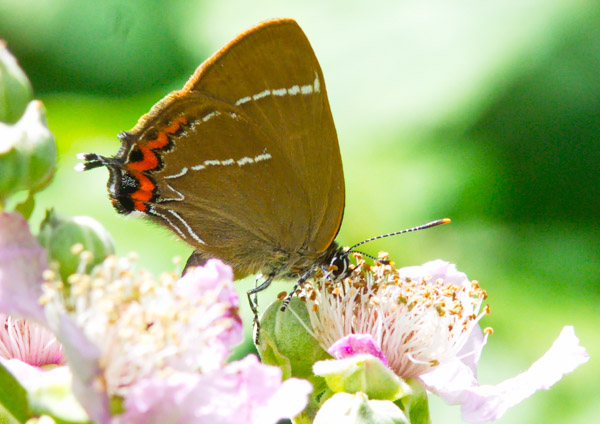White-letter Hairstreak on bramble flower