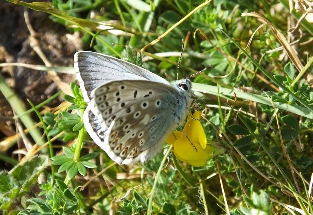 Chalkhill Blue with partly open wings on a yellow flower