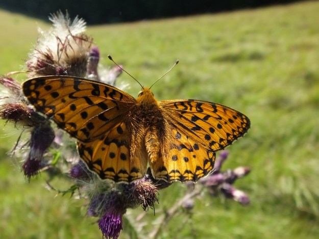 Orange butterfly with black markings on a thistle flower