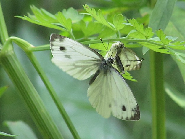 Male and female Green-veined Whites under a leaf