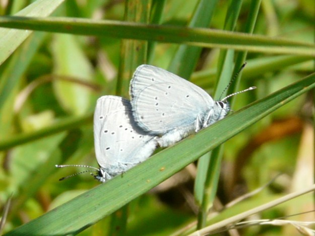 Two butterflies with pale blue underwings in mating pose