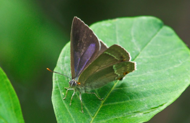 Small Purple Hairsteak with wings partially open, sitting on a leaf