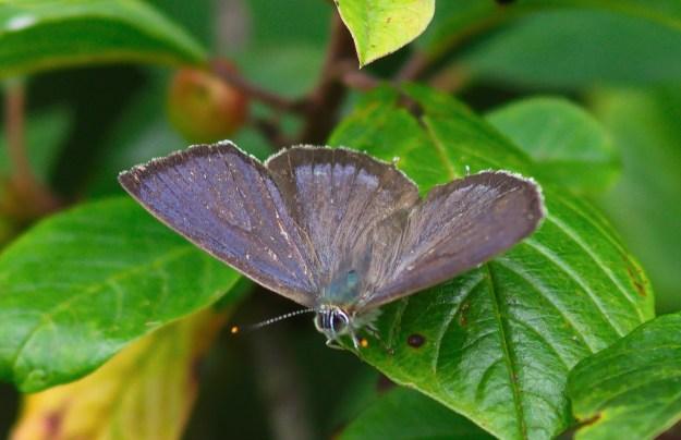 Purple Hairstreak with wings fully open