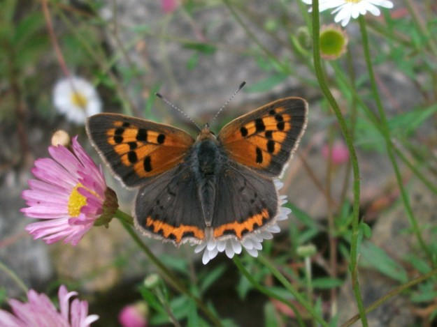 Small Copper with open wings showing heavy markings