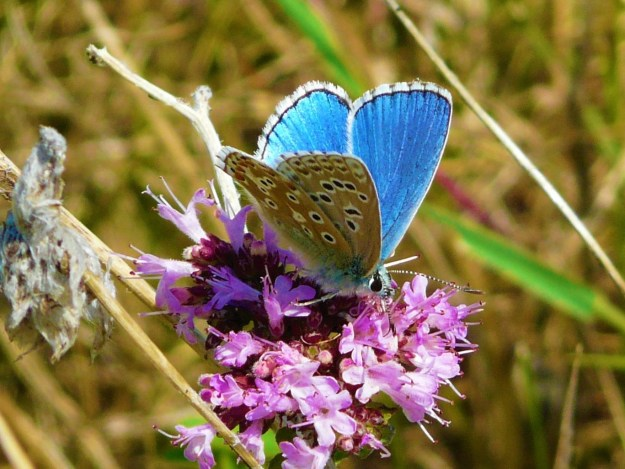 View of an Adonis Blue nectaring on a pink flower , showing upper and under fore-wings and hind-wings