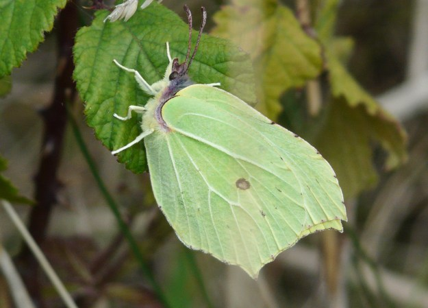 Side view of a male yellow Brimstone clinging sideways to a leaf