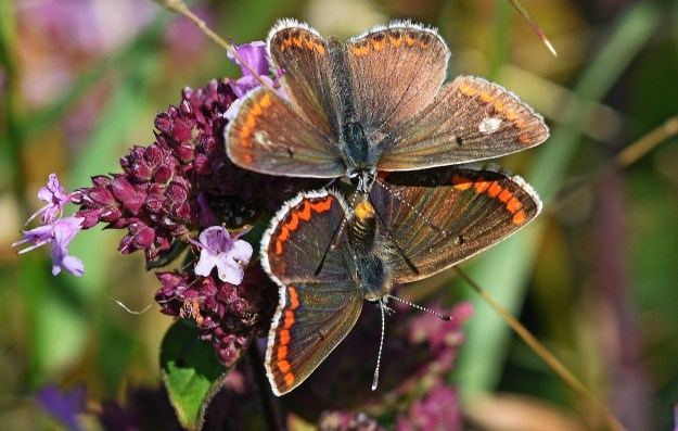 View of mating Brown Argus butterflies, the male showing a white patch on each upper fore-wing, possible aberration.
