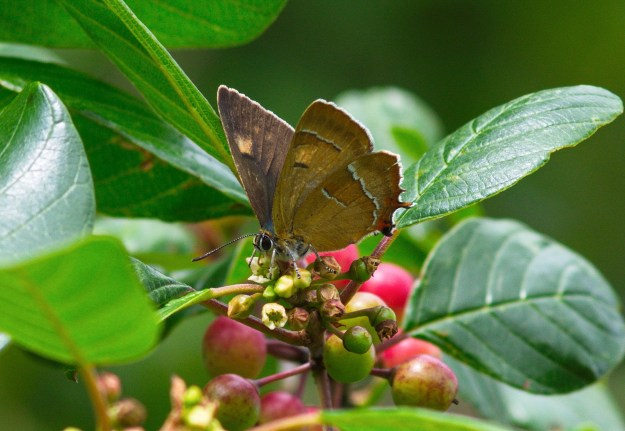 Brown Hairstreak on some red fruit, showing the underwing and some of an upperwing