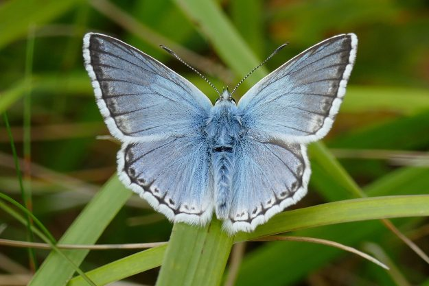 View of a Chalk-hill Blue butterfly resting with open wings on a blade of grass