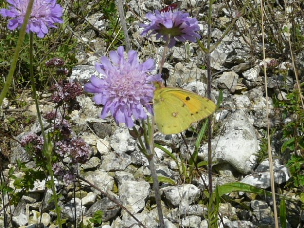 Side view of a Clouded Yellow on a scabious flower