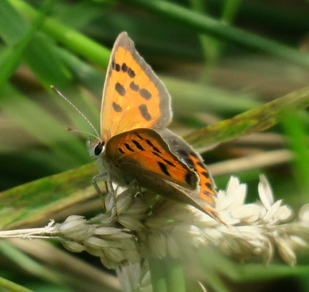 Small Copper, showing parts of top and underwing on a horizontal grass seedhead