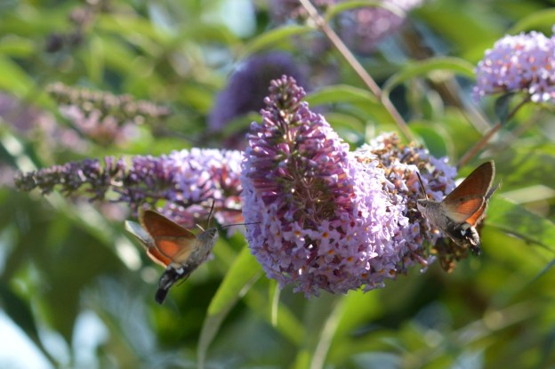 Two moths hovering on either side of a buddliea flower spike