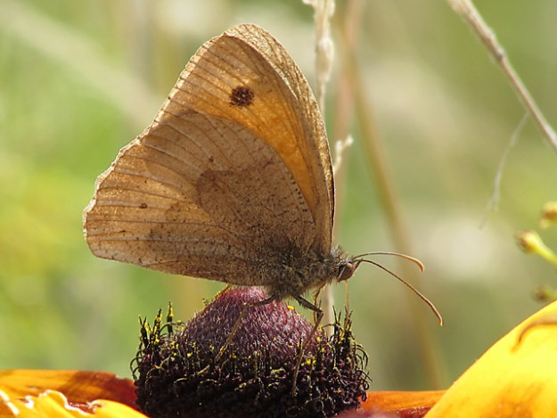 view of a Meadow Brown showing under-wings whilst nectaring on a flower
