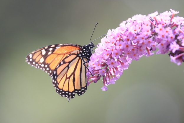 Monarch buttefly hanging from the end of a buddleia flower