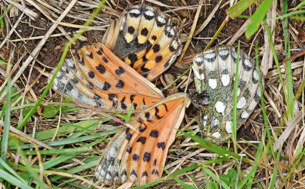 Views of just the four wings of the Painted Lady, no body