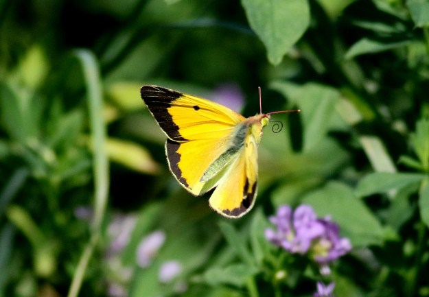 view of a Clouded Yellow resting with wings open unusually showing the upper fore-wings