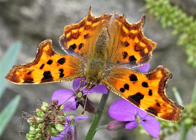 Vibrant Comma resting on a purple flower. showing all upper-wings