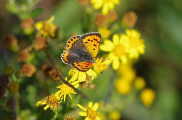 view of a vibrant Small Copper nectaring on Ragwort