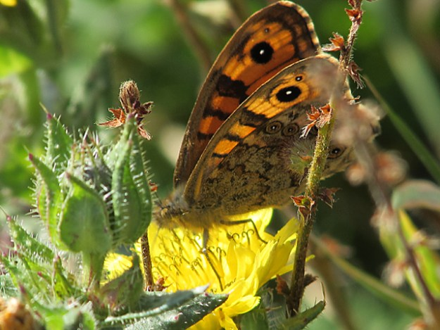 View of a Wall Brown showing a little upper fore-wing and under fore and hind-wingsan