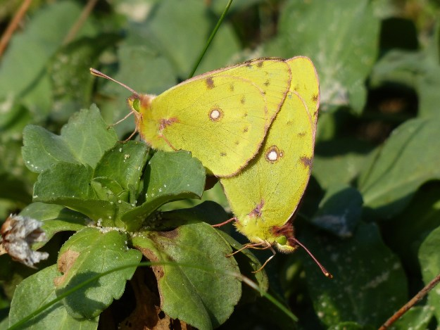 view of mating Clouded Yellows