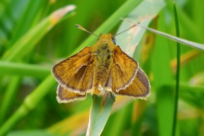 Small browny orange butterfly on a leaf