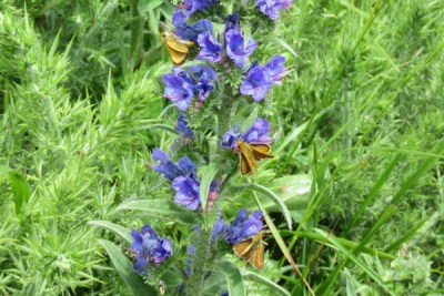 Thre small brown butterflies on a stem of bright blue flowers
