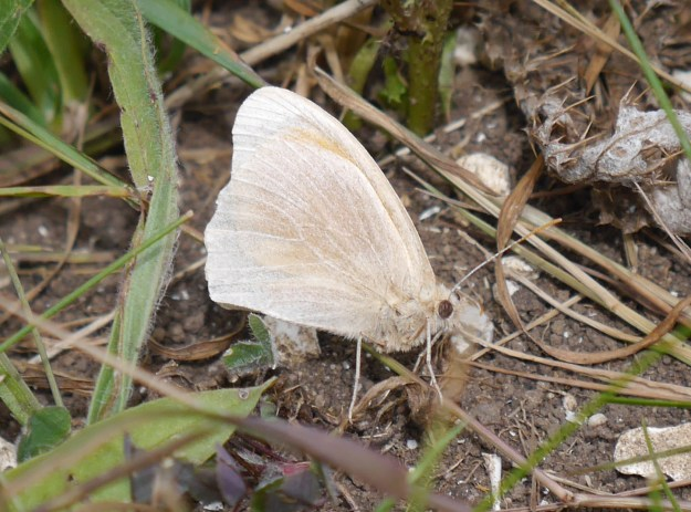 Albino form Meadow Brown resting on the ground with wings closed