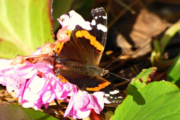 Red Admiral on a pink flower.
