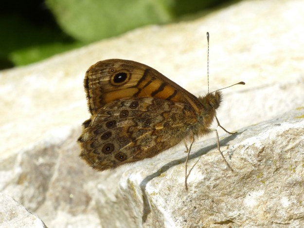 view of a Wall Brown with half closed wings