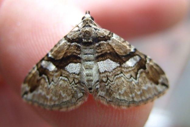 Barberry Carpet Moth.