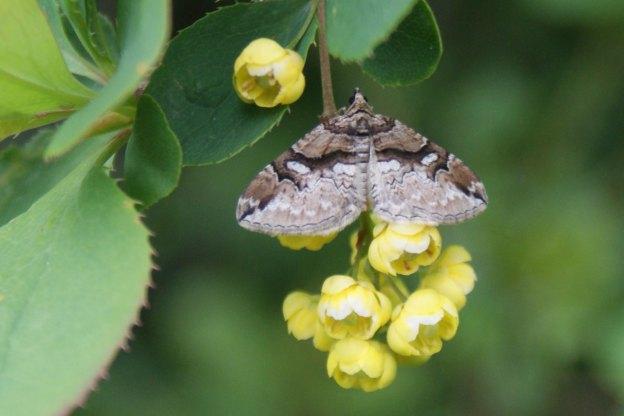 Barberry Carpet Moth