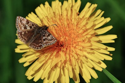 Small brown, beige and white dappled butterfly on a bright yellow dandelion flower