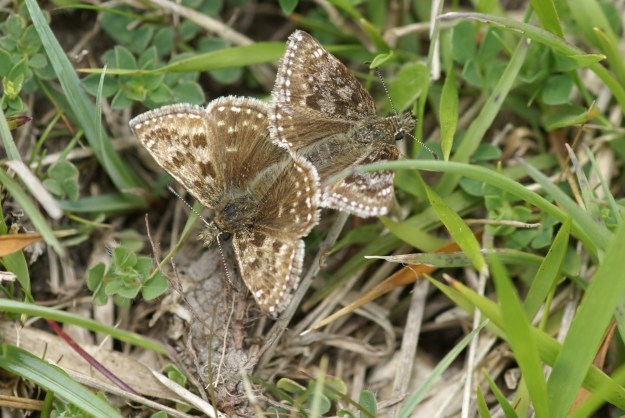 Two brown and cream butterflies joined and facing away from each other