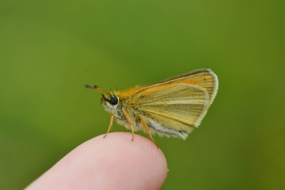Very small pale orangy-brown butterfly on the end of a finger