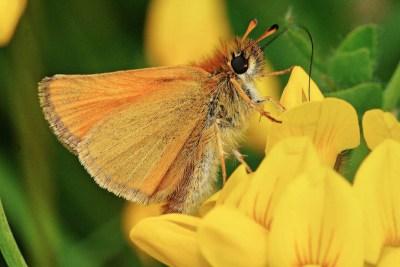 Orangey brown butterfly on bright yellow flower