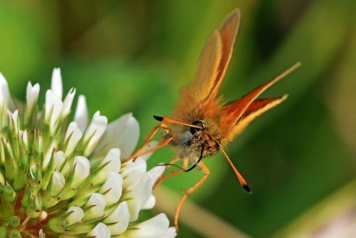 Close up of the front of an orangey brown butterfly on a white clover flower