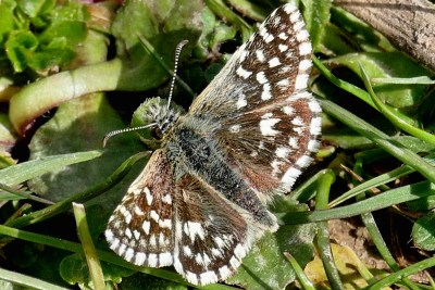 Brown butterfly with white chequered marking in the undergrowth