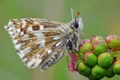 View of underwing of a butterfly with brown background but almost as much white as brown