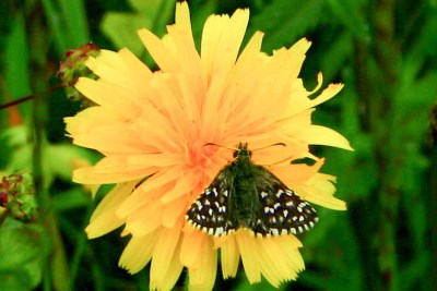 Small dark brown butterfly with white spots on a small dandelion-like flower